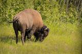 Buffalo - 219551386