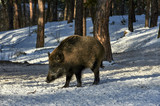 Eurasian wild boar (Sus scrofa) in natural environment, Poland - 219565307