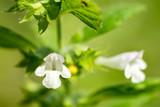 Closeup of Lemon Balm flowers (Melissa officinalis) - 219588388