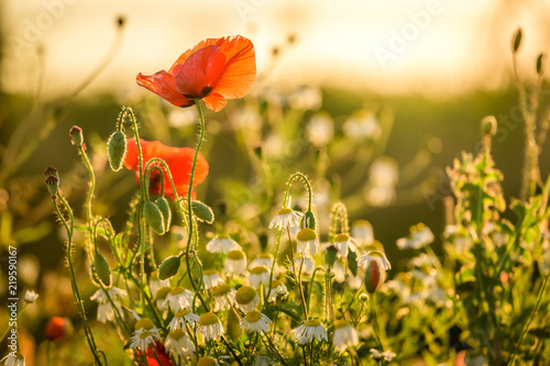 Closeup of red poppy seed in the field, Europe
