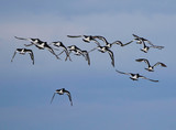 Flock of Oyster Catchers flying over - 219594915