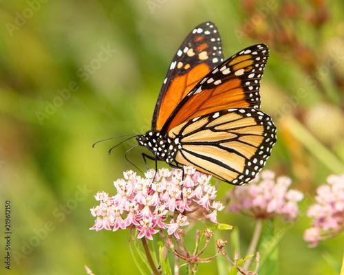Monarch_1 - 219612150