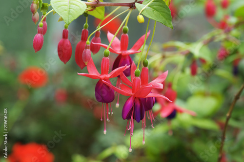 beautiful fuschia flower blooming in garden - 219616508