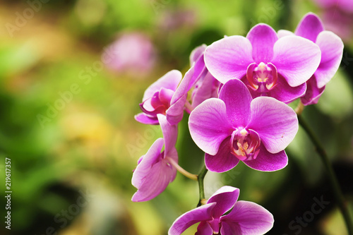 Fototapeta beautiful orchid flower blooming at rainy season