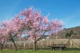 Mandelblüte in der Pfalz an der Deutschen Weinstrasse bei Neustadt an der Weinstrasse,Deutschland - 219626568