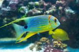 Symphorichthys spilurus - Sailfin snapper
