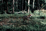 Wolf standing between shrubs in forest.