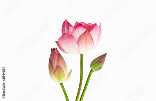 Pink Lotus Flower Bouquet Isolated On White Background Buy Photos