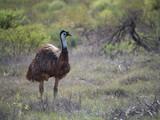Bird of Australia Emu - 219662960