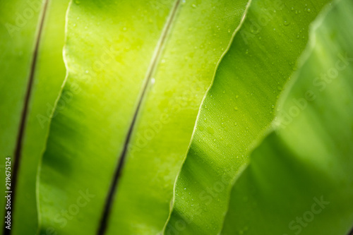 green leave with water drops, bird's nest fern