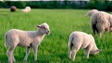 Lambs eating grass and playing in the summer time on Amager Fælled copenhagen Denmark - 219679959