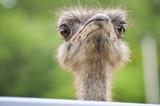 Close Up ostrich bird head - 219692730