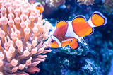 The orange clownfish (Amphiprion percula) also known as percula clownfish and clown anemonefish swimming in the aquarium, at the zoological park