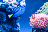 Paracanthurus hepatus, beautiful blue fish swimming in the aquarium with royal clownfish in the background