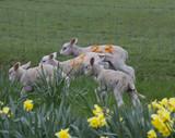 Flock of running lambs - 219694586