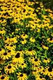 Selective focus view of a large group of Black-eyed Susan Flowers - 219697385