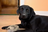 Black Labrador sitting on the floor with a cuddly toy