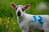 Portrait of a lamb in a field looking at the camera - 219701542