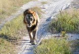 Löwe in Botswana - Moremi Reserve im Okavango Delta - 219705385