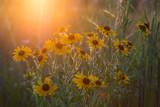 Black Eyed Susan's in sunset - 219707556