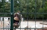 Kopf eines lustigen Zebras mit offenem Mund und großen gelben Zähnen. Nahaufnahme