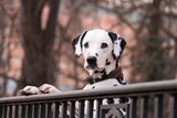 dalmatian dog breed pet animal black white park outdoor beautiful short hair necklace fence standing