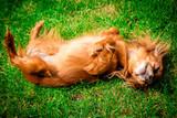 smiling dog  lying on green grass
