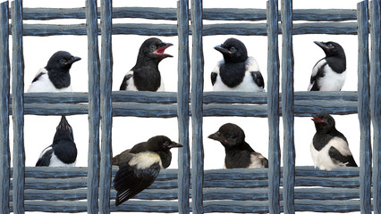 Young Magpies in different expressions.