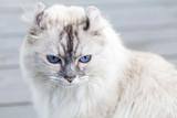 Close up portrait of cute American Curl cat - 219745703