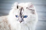 Close-up portrait of cute American Curl cat - 219745705