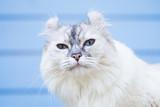 Portrait of cute American Curl cat - 219745706