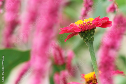 beautiful pink flower in summer - 219746502