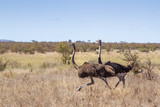 African Ostrich in Kruger National park, South Africa ; Specie Struthio camelus family of Struthionidae - 219752118