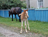 Mare and foal on the street of the village - 219755588