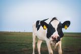 Kuh auf der Insel Neuwerk