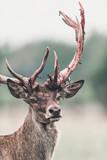 Red deer buck with fresh swept bloody antler. Headshot. - 219756355