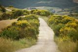 Path through the Tuscan yellow broom bush landscape - 219758195