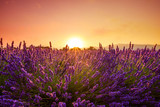 Blossoming lavender bushes at field near Valensole Provence France at warm sunset light