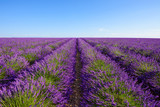 Lavender bushes rows at lavender field