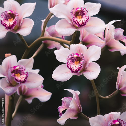Beautiful violet flowers on a branch. Flowering orchids. Сlose up - 219768180