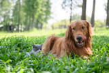 Golden retriever and Kitten playing in the meadow - 219770365