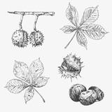 Vector chestnut leaf and nuts drawing set. Autumn elements. Hand drawn detailed botanical illustration - 219782153