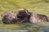 Two grizzlies (Ursus arctos horribilis) playing in the water - 219790508