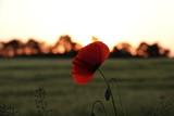 Fototapeta Maki - Maki w zachodzącym słońcu © Mikoaj