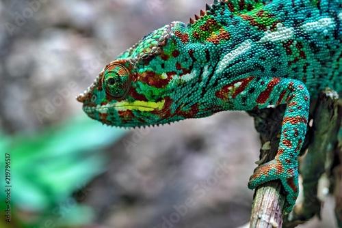 pstrokata jaszczurka kameleon na pierwszym planie