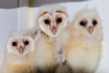 Very young, rescued Owl chicks in a rehabilitation sanctuary