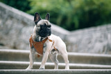 French bulldog stay at vintage staircase in castle. Dog outside on blurred background
