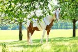 Schecke Pferd - 219811761