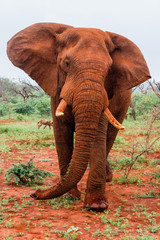 Elephant bull in must do not like our car in Zimanga Game Reserve in South Africa