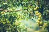 Organic Apples on a Tree - 219835128